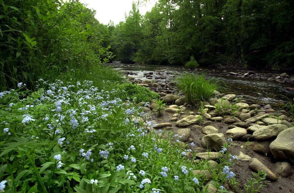 Blue forget-me-nots decorate the banks of the Linville River where it slows after emerging from Linville Gorge, in Linville, N.C., Monday, May 13, 2002. The U.S. Forest Service has purchased 607 acres toward an expansion of the Pisgah National Forest from the Linville Gorge Wilderness Area to Lake James. The land was purchased from International Paper Corp. for nearly $1.6 million. (AP Photo/The Charlotte Observer, Jeff Willhelm)