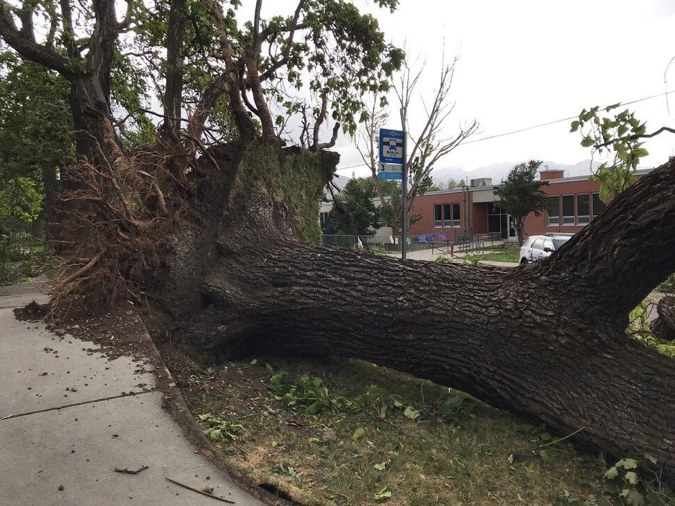 (Courtney Tanner | The Salt Lake Tribune) A large tree is uprooted after a wind storm affects the Salt Lake City area Tuesday, Sept. 8, 2020.