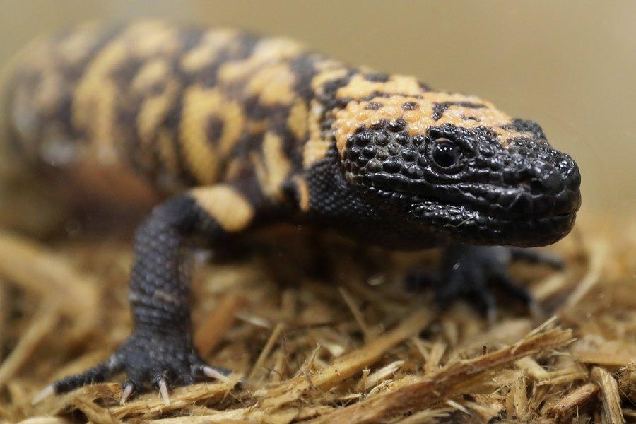 Utah's state reptile — the Gila monster?