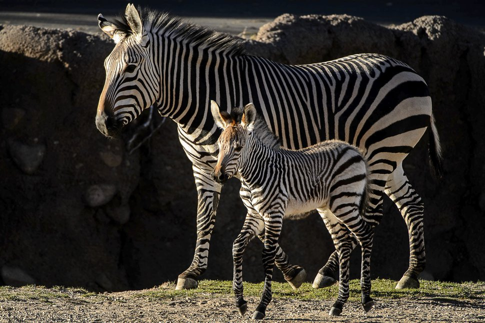 Clementine, left, a baby zebra, is seen with her mother, Zoe, at Utah's Hogle Zoo in Salt Lake City on Tuesday, Oct. 30, 2018. (Trent Nelson/The Salt Lake Tribune via AP)