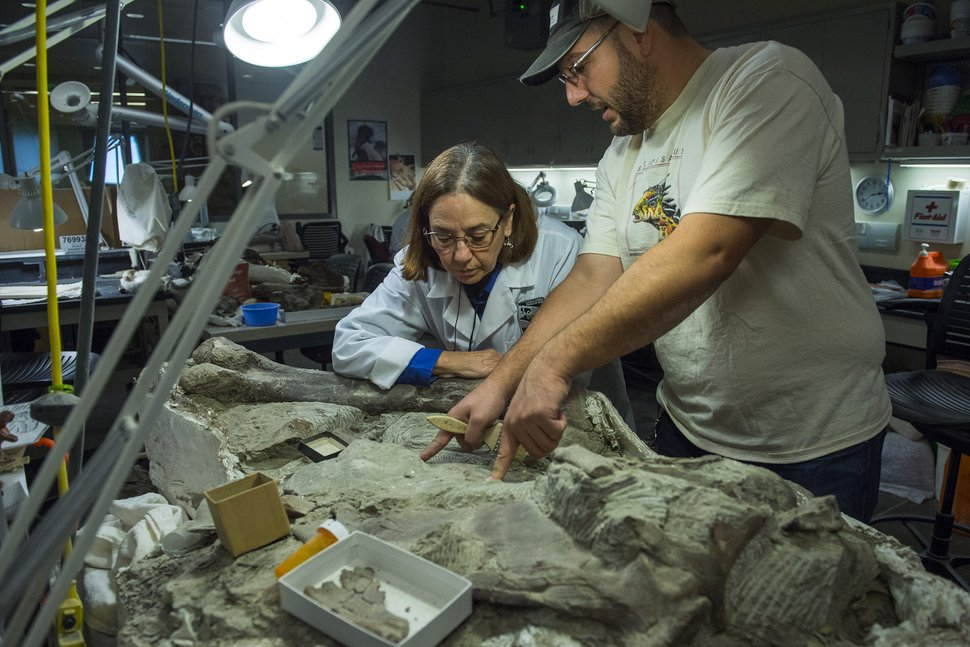 (Chris Detrick | The Salt Lake Tribune) Fossil Preparation Lab Manager Tylor Birthisel and volunteer Ann Johnson work on a Tyrannosaurid skull from Grand Staircase-Escalante National Monument at the Natural History Museum of Utah Wednesday, November 29, 2017.