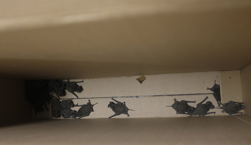 (Photo courtesy of Thomas B. Szalay) Bats are seen in a box after they were caught by Ronnie Johnson at West High in Salt Lake City on Sept. 20, 2017.
