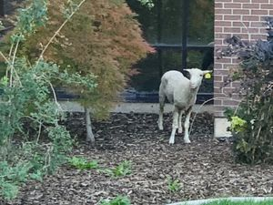 (Avery Holton) A lamb has been running loose on the University of Utah's campus. This pictured was captured on Tuesday, Sept. 14, 2021.