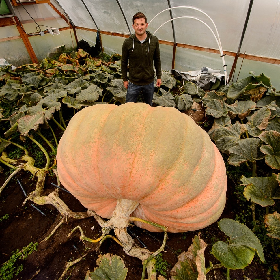 (Trent Nelson | The Salt Lake Tribune) Matt McConkie, shown in his Washington Terrace greenhouse, Tuesday Sept. 19, 2017, has grown a nearly 2000-pound pumpkin, which would set a state record.