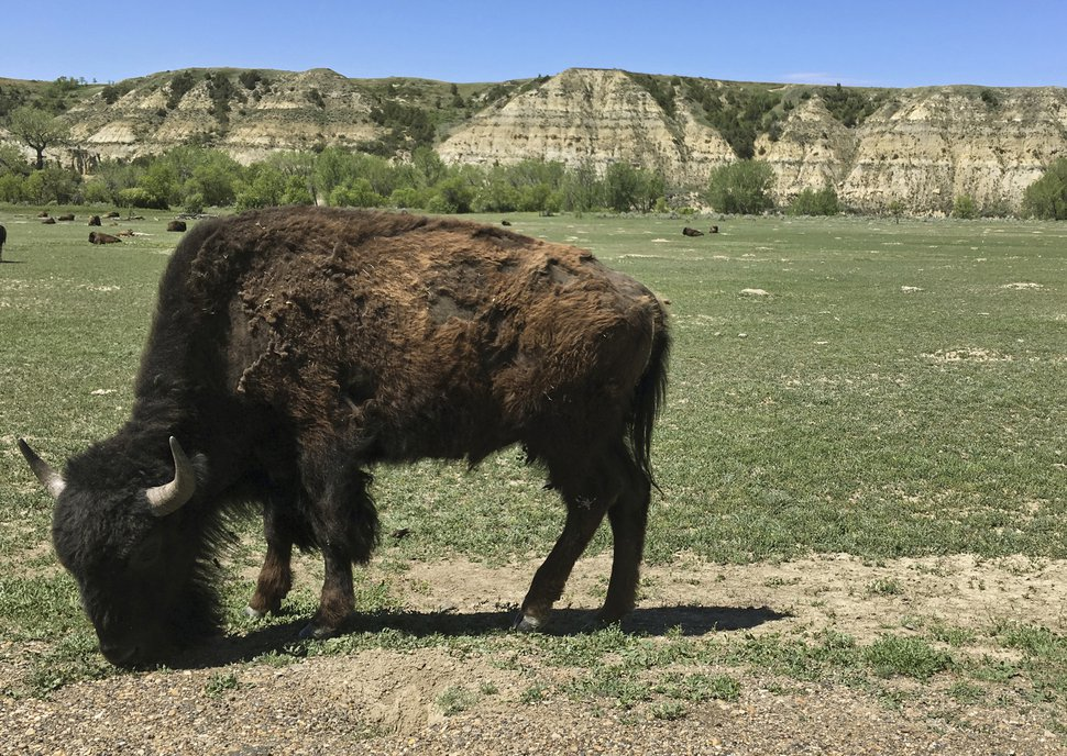 FILE - In this May 24, 2017, file photo, a bison munches grass in Theodore Roosevelt National Park in western North Dakota. Roosevelt hunted and ranched in the area in the 1880s. His old turf in North Dakota is now the national park in his name. The park is home to a wide variety of wildlife, from prairie dogs to wild horses and bison. It is North Dakota's top tourist attraction, drawing more than 700,000 visitors annually. Now a group of Roosevelt enthusiasts hope to establish a presidential library in the majestic surroundings he so loved. (AP Photo/Blake Nicholson, File)