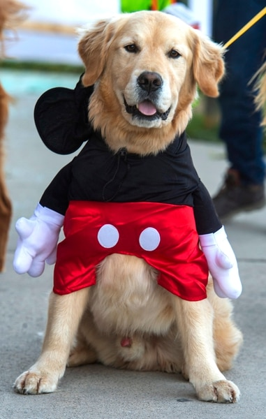 (Rick Egan | The Salt Lake Tribune) Charlie dressed as Mickey Mouse as he walks though Dog Days in the Maze with his owner, Brin Glock, at Wheeler Farm, Monday, Oct. 26, 2020.
