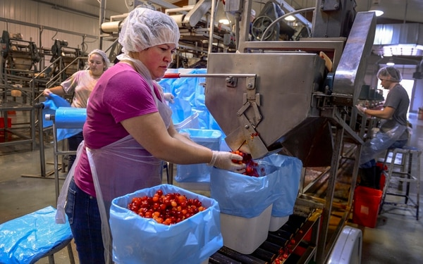 (Leah Hogsten | The Salt Lake Tribune) Payson Fruit Growers co-op employee Carmen Rodriguez fills buckets full of Montmorency cherries to freeze, Thursday, July 26, 2018. Eight Utah family owned cherry farms process their cherries at the Payson Fruit Growers co-op every July, processing between 20 to 30 million pounds of cherries.
