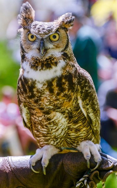 Leah Hogsten | The Salt Lake Tribune Winston, the great horned owl, was on display as owl educators talked about his species during Earth Day celebration at the Ogden Nature Center, Saturday, April 20, 2019.