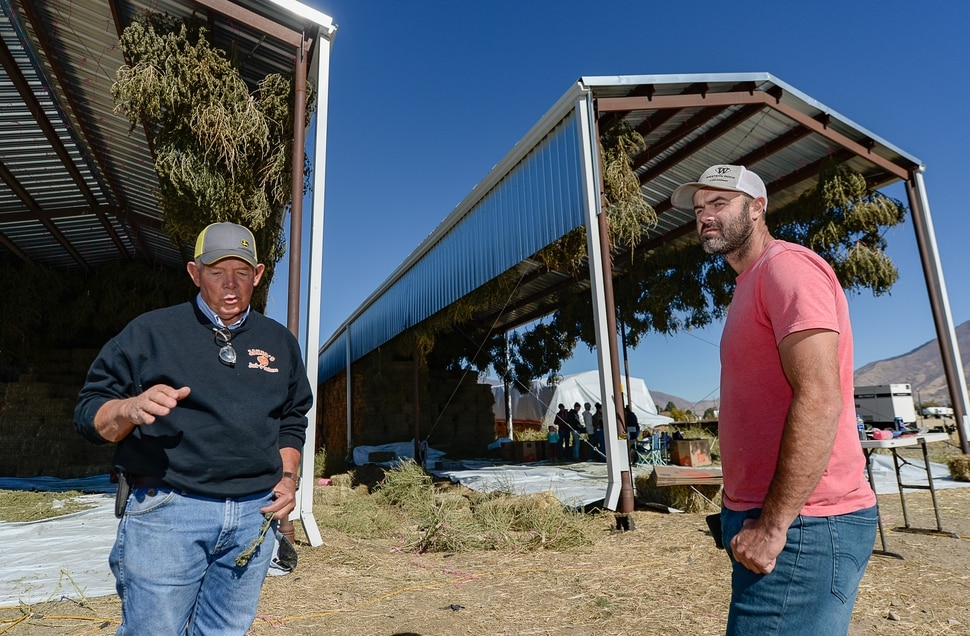 (Francisco Kjolseth | The Salt Lake Tribune) Long time farmer Jud Harward, left, talks about his first season of industrial hemp growing near Spanish Fork along with the help of David Lee in charge of the genetics for seeds and starts, as crews begin the pre-extraction process of the dry plants on its way to being harvested for CBD oil.