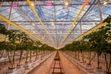 (Trent Nelson  |  The Salt Lake Tribune) Inside the greenhouse of Longvine Growing Co. in Mona on Wednesday, Oct. 6, 2021.