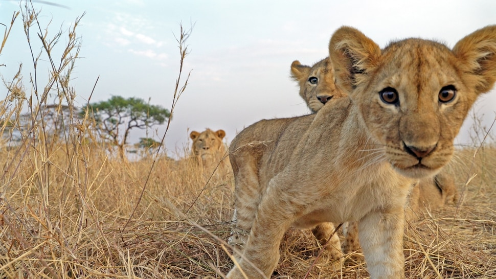 "(Photo courtesy Discovery) Among the stars of ""Serengeti"" is a family of lions."