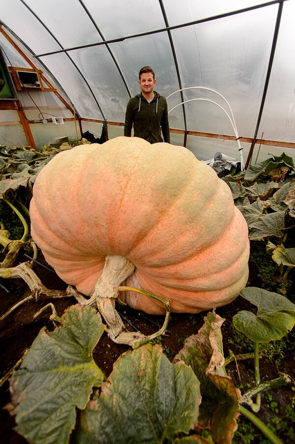(Trent Nelson | The Salt Lake Tribune) Matt McConkie has grown a nearly 2,000 pound pumpkin.