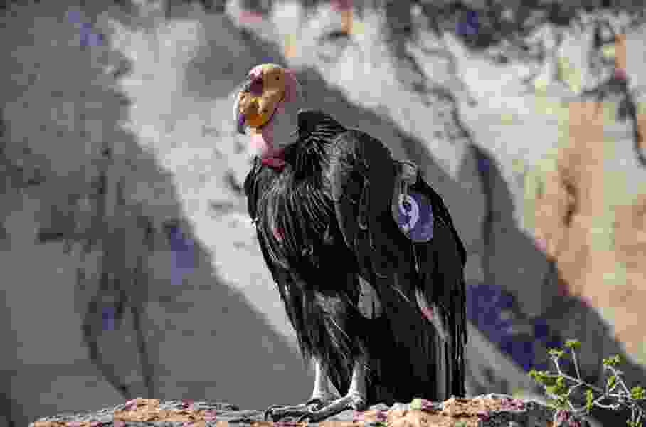 California condors seen in Sequoia National Park after nearly 50 years