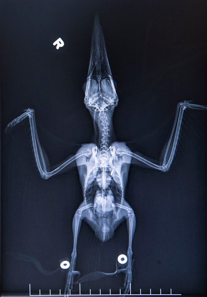 (Rick Egan | The Salt Lake Tribune) X-ray of a Kingfisher in the exam room, of the Hogle Zoo Animal Health Center. Saturday, March 16, 2019.
