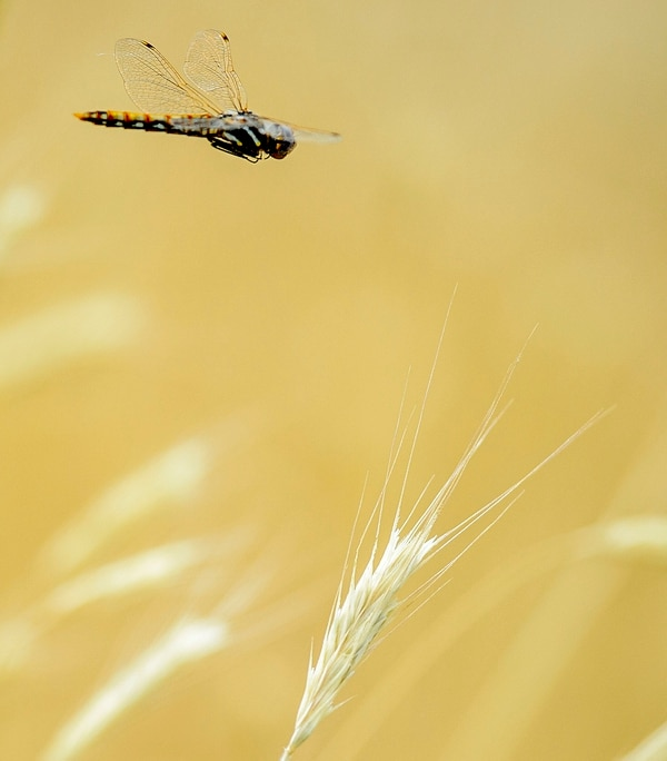Steve Griffin   The Salt Lake Tribune A dragonfly hovers above a dried grass stalk on the Bonneville Shoreline Trail in Salt Lake City Monday July 10, 2017.