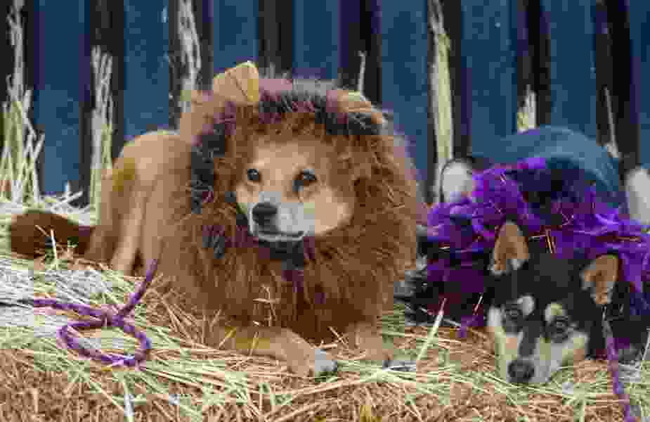 Costumed dogs bring the Halloween spirit to Wheeler Farm for Dog Days in the Maze