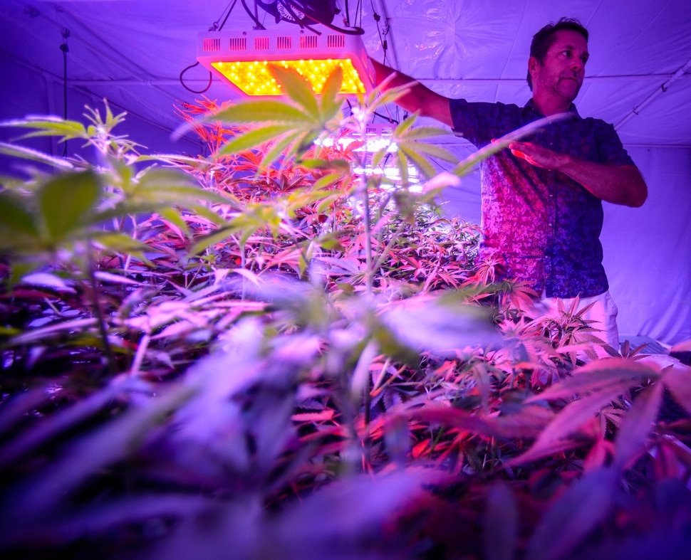 (Trent Nelson | The Salt Lake Tribune) Troy Young with hemp plants growing under LED lights at Moon Lake Farms in North Salt Lake on Friday July 12, 2019.