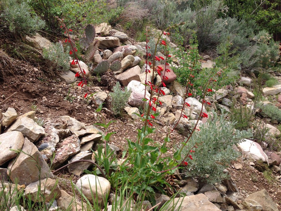 (Erin Alberty | The Salt Lake Tribune) Firecracker penstemon, prickly pear and big mountain sage filled in the former backyard of Tribune reporter Erin Alberty, as seen on May 4, 2015 — after intensive efforts to remove an infestation of myrtle spurge. The Utah native plants helped to replace a carpet of the invasive weed.