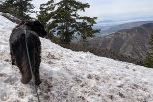 (Paighten Harkins | The Salt Lake Tribune) Major the dog stands in the snow to cool off on his way to the top of Grandeur Peak on May 9, 2021.