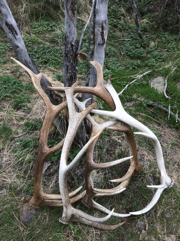 | courtesy of Paul Fife Shed elk antlers gathered in southern Utah are leaned against a bush. Utah wildlife officials have closed the entire state to antler gathering until April 1 because mule and deer elk are facing the toughest winter in years. The closure is needed to minimize stress to these animals as they fight for survival in deep snows blanketing the northern part of the state.