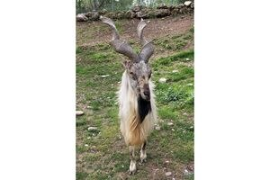 (Hogle Zoo) A Turkmenian markhor is dead at Utah's Hogle Zoo following a sparring match with a fellow male markhor, the zoo announced Saturday. Markhor are an exotic Asian goat-like species native to central Asia and the Himalayas.