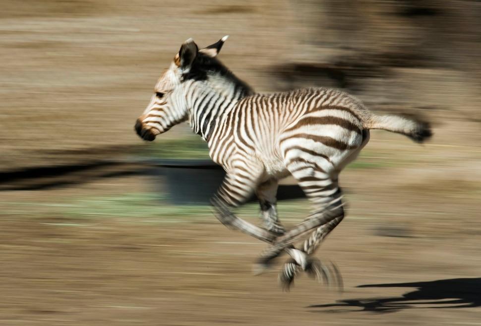 (Rick Egan | The Salt Lake Tribune) A new baby zebra born Saturday at Hogle Zoo, romps around the pen, Thursday, June 7, 2018.