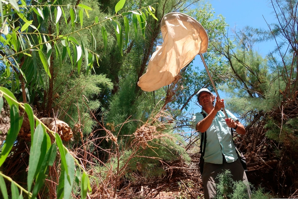 (Felicia Fonseca | The Associated Press) Northern Arizona University researcher Matt Johnson sweeps tamarisk trees along the Verde River in Clarkdale, Ariz., on July 9, 2019, in search of beetles that feed on the leaves. The beetles were brought to the U.S. from Asia to devour invasive tamarisk, or salt cedar, trees.