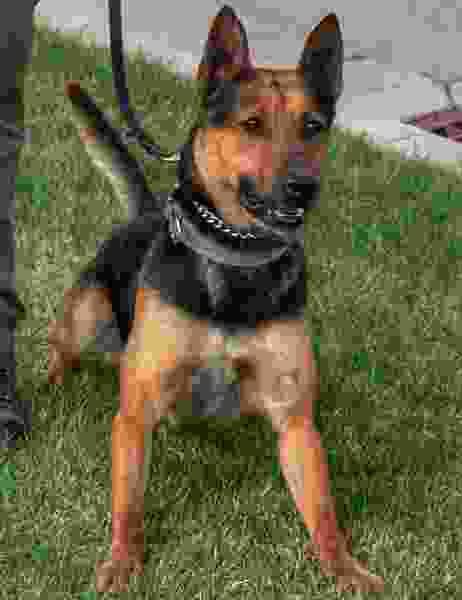 Utah police dog dies after ingesting foxtail grass