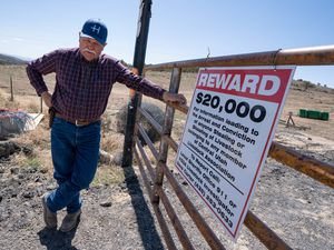 (Francisco Kjolseth  | The Salt Lake Tribune) Randy Revoir, a Nephi rancher, checks in on his cattle in Juab County on Thursday, April 8, 2021. Revoir has banded together with other livestock producers to form the Central Utah Livestock Association, a group that offers a $20,000 reward for tips leading to the arrest of anyone who kills a member's animal. Livestock shootings soared in 2020 during the pandemic, but the reasons for the increase are unclear.