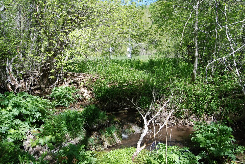 A plan to bring beavers back to Red Butte Creek, a natural area east of Salt Lake City that is closed to the public, is hoped to restore the canyon's wetlands and generate valuable research. But some officials fear beavers could leave the canyon and cause damage at nearby Red Butte Garden. Photo by Brian Maffly, May 17, 2018