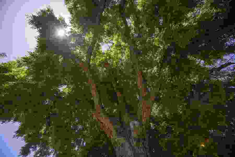 Giant Ogden walnut tree is largest in Utah
