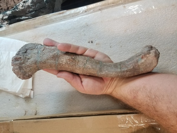 Paleontologist Robert Gay recovered this fossil of a phytosaur, a primitive crocodile precursor, in the western side Bears Ears National Monument in September 2017. His team recovered the specimen in what is now believed to be a major quarry for Triassic fossils. Missing was most of the skull, which a looter had stolen years before and turned into the National Park Service. Photo courtesy of Robert Gay.