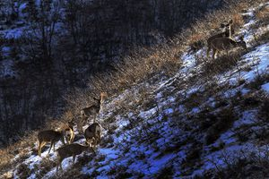 (Steve Griffin  |  Tribune file photo)  Mule deer stand in a sliver of morning sunshine as they graze in Emigration Canyon in 2018. Lawmakers have advanced a bill that would ban baiting in big game hunting.
