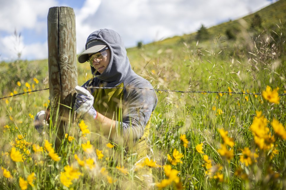 (Ryan Dorgan | Jackson Hole News & Guide) In this June 30, 2018, photo, Jackson Hole Wildlife Foundation intern Victoria Hollingsworth removes barbed wire from a fencepost on Horse Creek Mesa south of Jackson, Wyo. Volunteers removed close to a mile of fence separating Wyoming Game and Fish Department's Horse Creek Mesa Wildlife Habitat Management Area and Bridger-Teton National Forest lands, allowing safe and easy passage for wildlife.