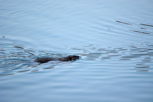 A lone beaver has been observed in Red Butte Reservoir, pictured here on April 26, a mile east of the University of Utah in the Red Butte Canyon Research Natural Area, where beavers were extirpated in 1982. U. biologists propose reintroducing the rodent, considered a keystone species in Western mountains because its dam building creates wetland habitat that supports many other native species. However, officials at the U.'s Red Butte Garden, a botanical preserve at the mouth of the canyon, fear beavers could migrate downstream and damage the gardens' trees. Photo courtesy of Sherwood Casjens.