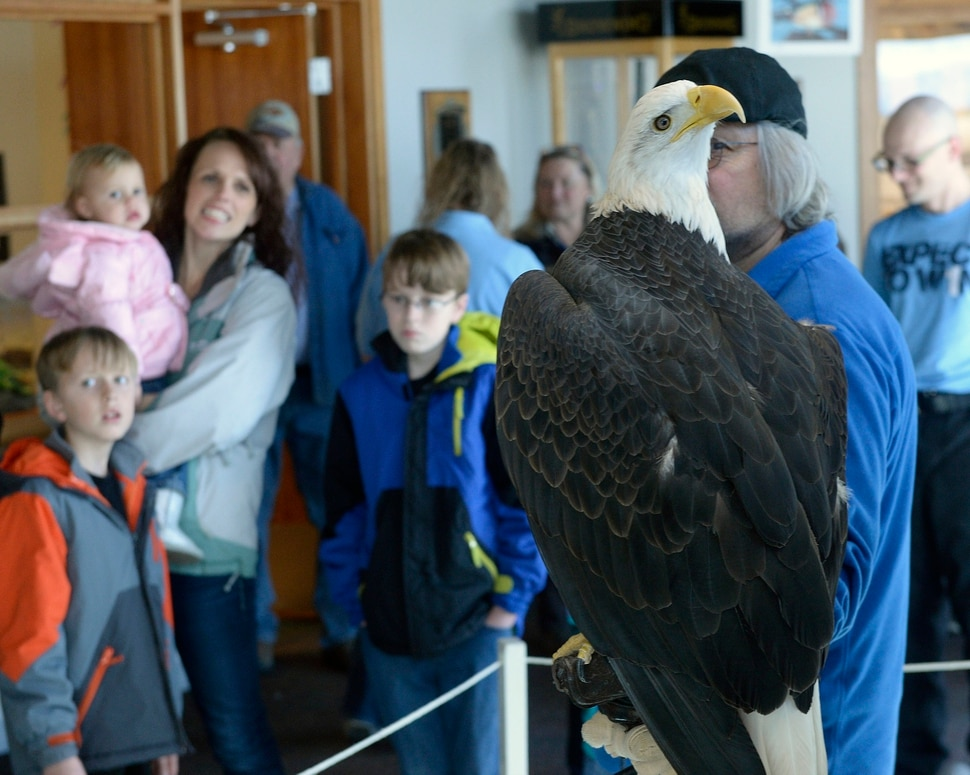 (Al Hartmann | The Salt Lake Tribune) Families get an up-close look at a Bald Eagle at the Wildlife Education Center at Bear River Migratory Bird Refuge at Eagle Day event on Saturday Feb. 10. This eagle from Ogden Nature Center used for education can't fly. Usually up to several hundred eagles can be seen, each winter, as they migrate through the refuge, but not this year. The abnormal weather this Winter has changed their migratory pattern making live spottings scarce.
