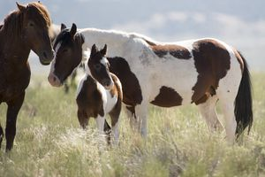 (Tribune file photo by Rick Egan) A foal and its mother in the Onaqui wild horse herd, about 60 miles southwest of Salt Lake City,  near Simpson Springs, Thursday, June 5, 2014. The Bureau of Land Management plans to remove about half the Onaqui horses this week in one of the most controversial roundups in years.