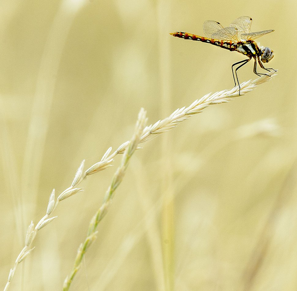 Steve Griffin | The Salt Lake Tribune A dragonfly clings to a dried grass stalk on the Bonneville Shoreline Trail in Salt Lake City Monday July 10, 2017.
