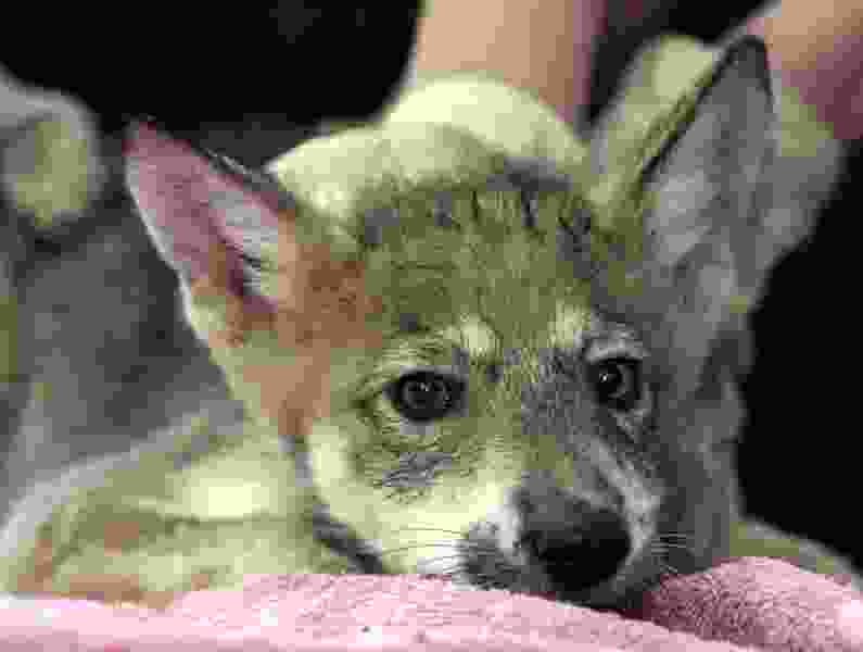 Business leaders want Mexican gray wolves in Grand Canyon area