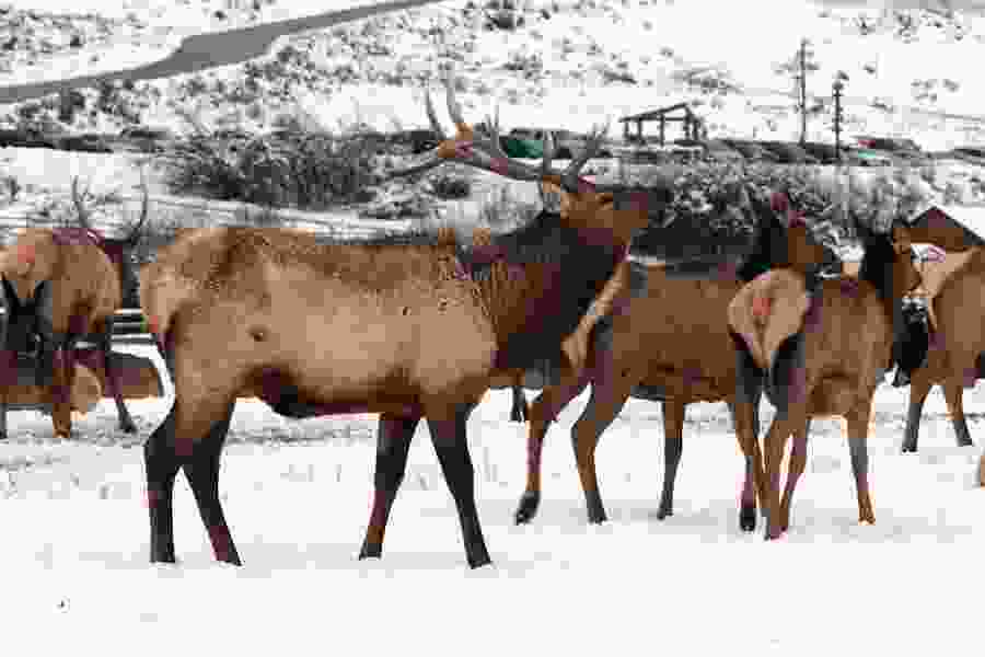 Utah's warm winter drives elk out of Hardware Ranch, leading to the early end of another popular outdoors event