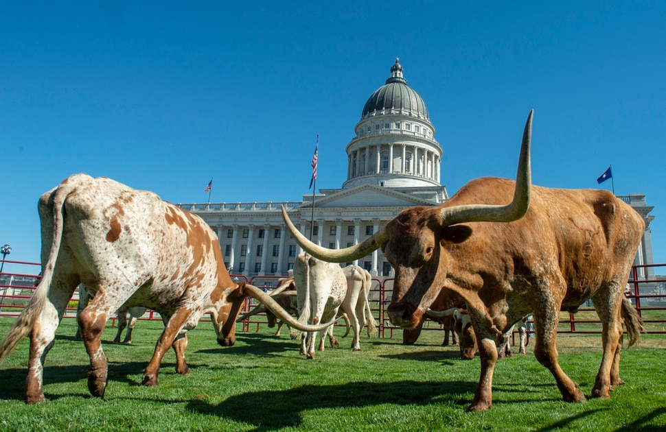 (Rick Egan   The Salt Lake Tribune) Longhorn cattle graze on the lawn in front of the Utah State Capitol before a news conference on the Days of 47 festivities, Tuesday, July 16, 2019.