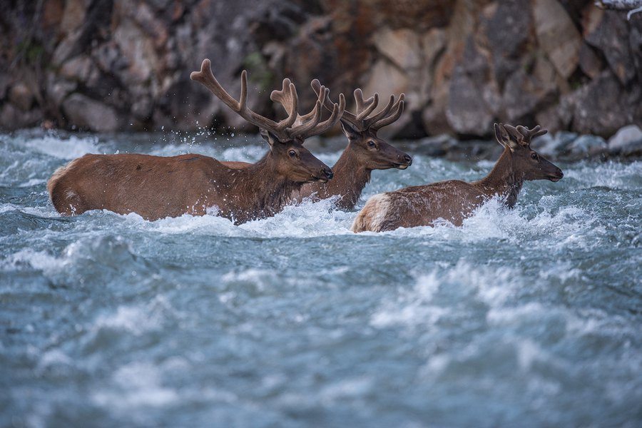 The wild journey of Yellowstone's migratory elk is chronicled in exhibit opening June 29 at Natural History Museum of Utah