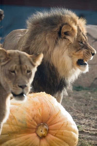 Jeremy Harmon | The Salt Lake Tribune) Lions stand guard over a pumpkin as animals at Salt Lake City's Hogle Zoo were fed Thanksgiving treats on Thursday, November 23, 2017.