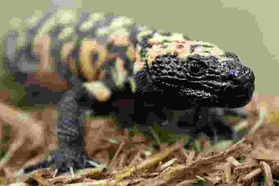Gila monster on its way to being named Utah's state reptile