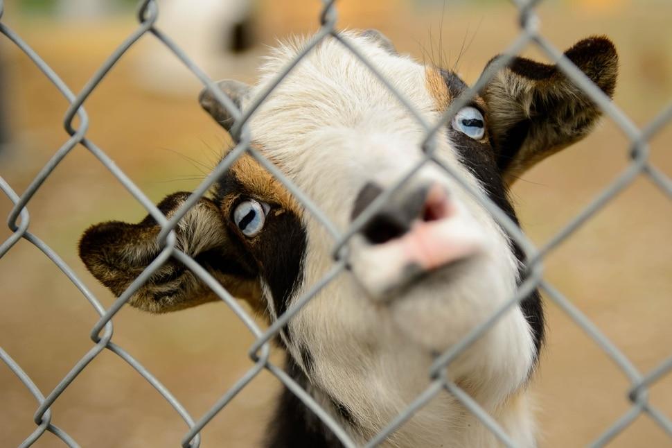 (Trent Nelson | The Salt Lake Tribune) A goat at Sandy City Animal Services on Monday April 22, 2019.