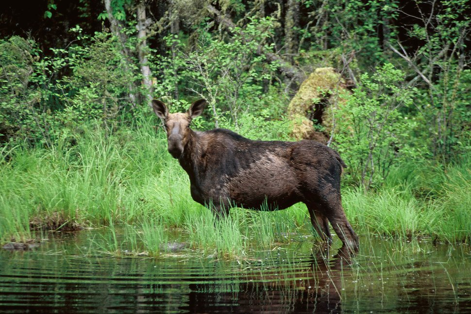 (Jim Mone | AP Photo) FILE - In an undated file photo, a moose wades in a small pond in Superior National Forest near the Boundary Waters Canoe Area, Minn. Minnesota's annual moose survey finds a continuing decline in the animal so closely identified with the state's north woods. The survey counted 3,450 animals, compared with 4,350 last year and 2,760 two years ago.