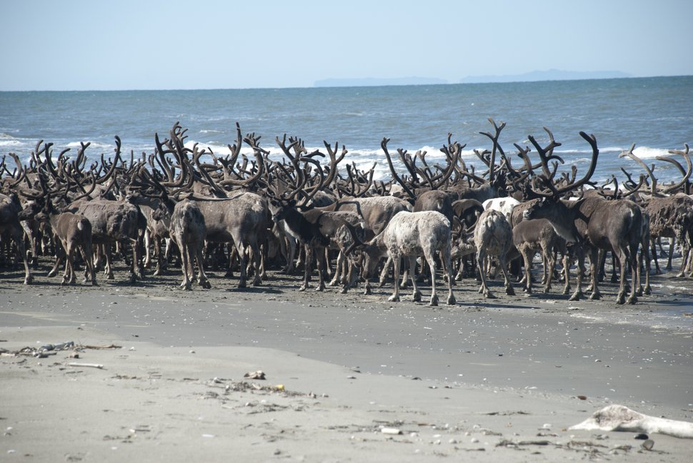 (Photo courtesy of Bering Land Bridge National Preserve) Reindeer on the beach at Ipek lagoon in Bering Land Bridge National Preserve.