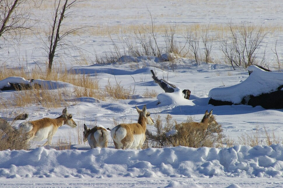 (Photo courtesy of Ouray National Wildlife Refuge) In this 2008 photograph, pronghorn herd at Ouray National Wildlife Refuge in Uintah County.