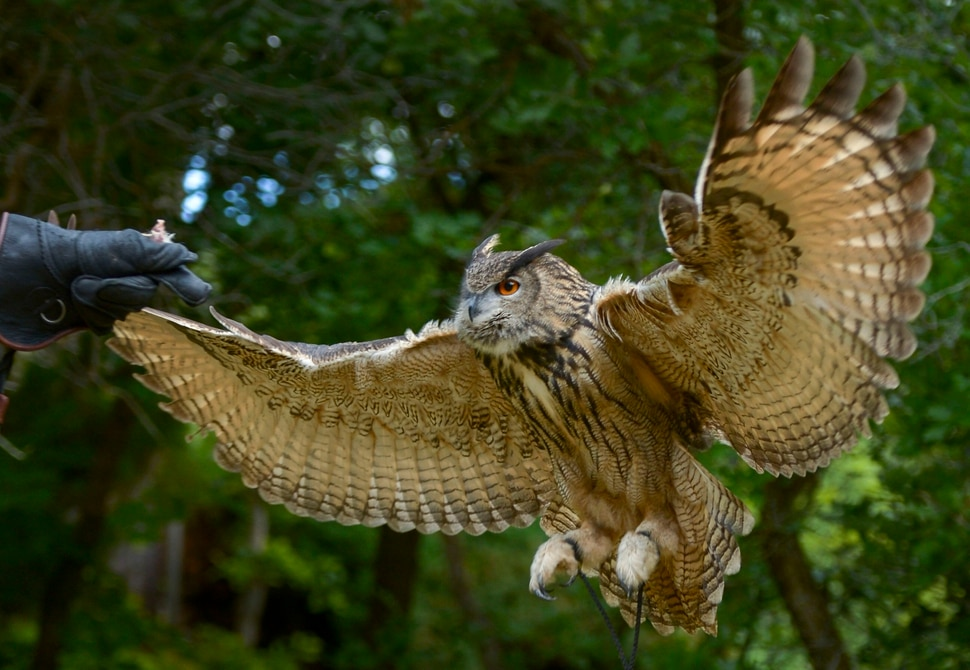 (Leah Hogsten | The Salt Lake Tribune) Koko, a Eurasian eagle owl takes flight, June 17, 2020. Koko was a star in Hogle Zoo's 25-year-old World of Flight show.