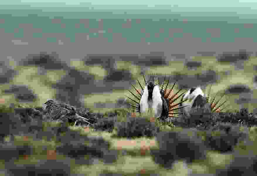 How a DNA study that mapped crucial sage grouse mating grounds in the West may help protect the imperiled species